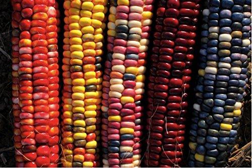 Organic Corn 'Painted Mountain' (Zea Mays) Vegetable Heirloom Seeds