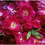 Rose Water 1L