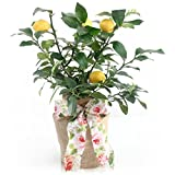 Mother's Day Meyer Lemon Gift Tree by The Magnolia Company - Get Fruit 1st Year, Dwarf Fruit Tree with Juicy Sweet Lemons, No Ship to TX, LA, AZ and CA