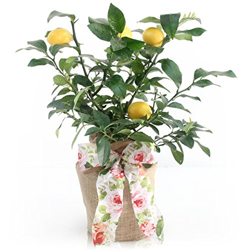 Mother's Day Meyer Lemon Gift Tree by The Magnolia Company - Get Fruit 1st Year, Dwarf Fruit Tree with Juicy Sweet Lemons, No Ship to TX, LA, AZ and CA ()