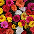 Outsidepride Portulaca Moss Rose Happy Hour Ground Cover Plant Seed Mix