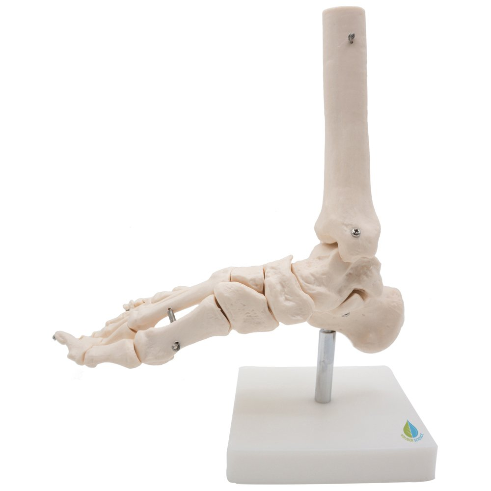 Foot and ankle Skeleton Model,Kouber Human Anatomical Model,Life Size,Height 11'