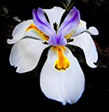 5 African IRIS Plants/Butterfly IRIS/Drought and Frost Hardy