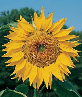 OldLadyRenee: 30+ Sunflower, Mammoth Gray SEEDS -For Planting!
