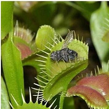 Dionaea Muscipula Venus Fly Trap Seeds Bonsai Carnivorous Plant Seeds
