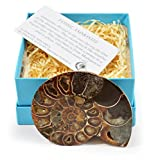 Premium Gift-Boxed Cut and Polished Ammonite Fossil