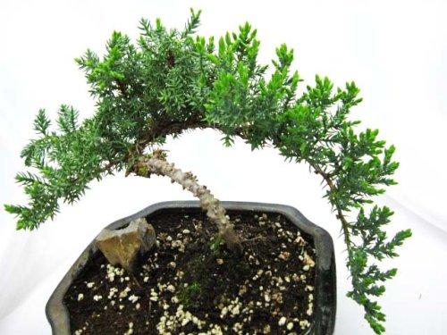 9GreenBox - Japanese Juniper Bonsai Tree with Fertilizer by 9GreenBox.com