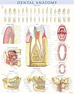 dental anatomy quick study - Dental Anatomy Coloring Book
