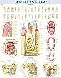 Dental Anatomy (Quick Study)