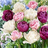 Romantic Mix Tulip Flower Seeds 50 Stratisfied Seeds