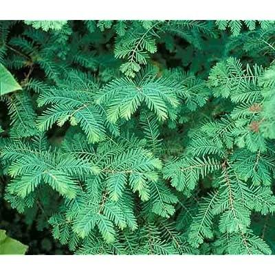 Dawn Redwood 30 Seeds - Metasequoia Glyptostroboides Tree Seeds, Bonsai Tree Indoor Seeds, Outdoor Bonsai Tree Seeds, Shade Trees Fast Growing Seeds : Garden & Outdoor