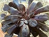 Aeonium arboreum Zwartkop Black Rose Aeonium Zwartkop Schwartzkopf Fantastic Black Succulent Color Pinwheel Gift Desk Indoor Plant Easy Care