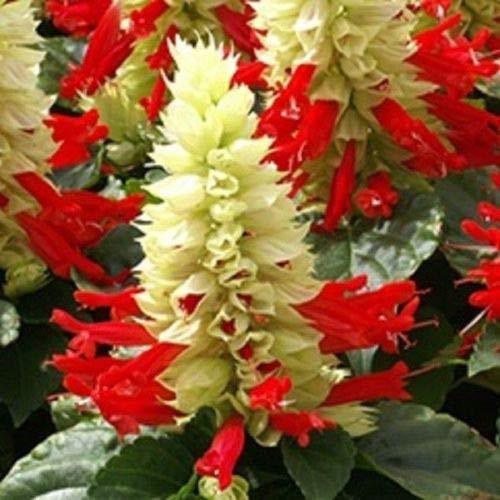 (40+ Salvia Reddy White Surprise Sage Deer Resistant/Perennial Flower Seeds)