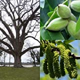 Butternut, (White Walnut) Juglans cinerea, 3 Tree Seeds (Edible, Fall Color, Hardy