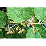 Live Grewia Asiatica Falsa Fruit Plant One Plant in Pot