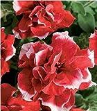 Fiore - Petunia - Double Pirouette Rosso e Bianco - 30 Semi Pellettati