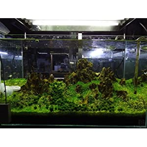3 X Marimo Mossball 0.8~1cm High Quality - Live Aquarium Aquatic Plant for Fish Tank