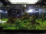 10 X Marimo Mossball 0.8~1cm - Live Aquarium