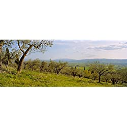 Olive orchard on a landscape Assisi Perugia Province Umbria Italy Poster Print (27 x 9)
