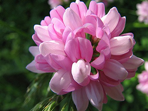 Nitro Coat Crown Vetch Seeds for Wildlife Food Plots and Soil Erosion Control (10,000 Seeds)