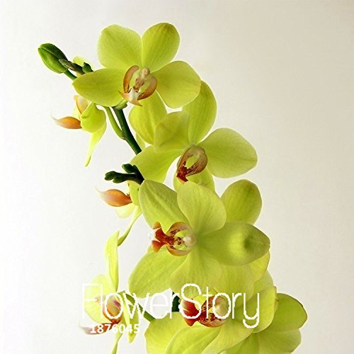 Hot Sale!Green Orchid Bonsai Flowers Formaldehyde Air Purification Seeds Phalaenopsis Orchids,100 PCS/Lot,#3RKCQ9