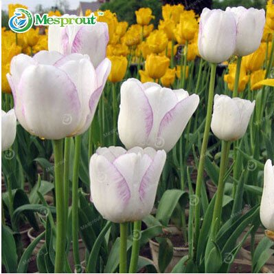 Amazon Com Tulips Flowers Seeds Tulip Seeds 10 Seeds Not Tulip
