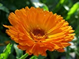 Calendula Seeds - English Marigolds Orange Edible Herb Cutting Flowers