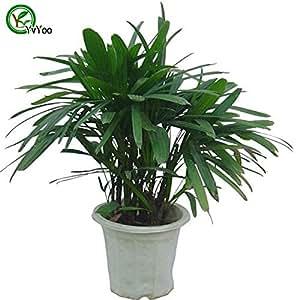 Los escritorios de oficina Planta de la palma de bambú árbol bonsai Semillas 100% verdad semilla en su clase de tiro hogar planta de jardín 30 PC T024