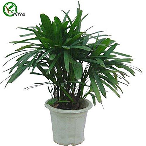 Los escritorios de oficina Planta de la palma de bambu arbol bonsai Semillas 100% verdad semilla en su clase de tiro hogar planta de jardin 30 PC T024