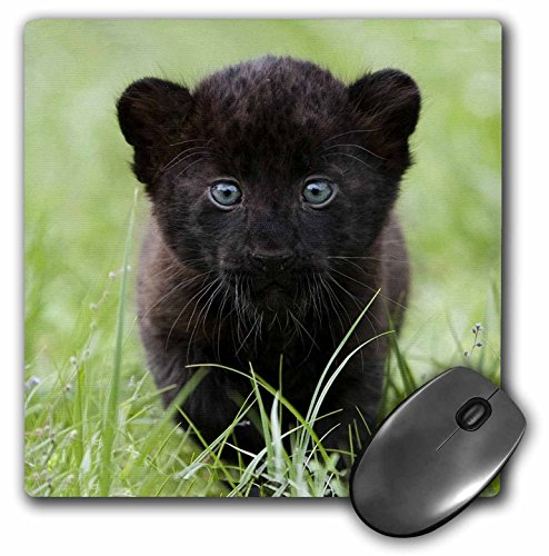 3dRose LLC 8 x 8 x 0.25 Inches Mouse Pad, Black Panther Cub (mp_4537_1)