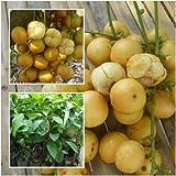 Burmese grape Tree Plant Grafted Tall 22'' Mafai Fruit Tropical From Thailand