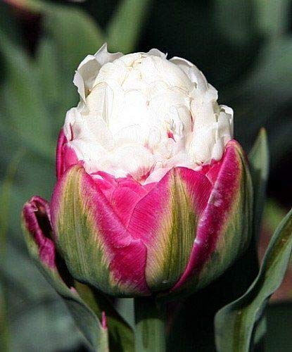 (5 Double Late Peony Tulip Bulbs Pink White Green Flowers Rare)
