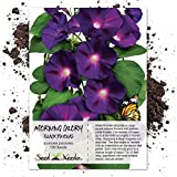 Seed Needs, Black Kniolas Morning Glory (Ipomoea purpurea) 100 Seeds Untreated