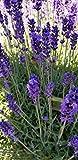 Findlavender - Hidcote Blue Lavender Plant - 4'' Size Pot - 8 Live Plants