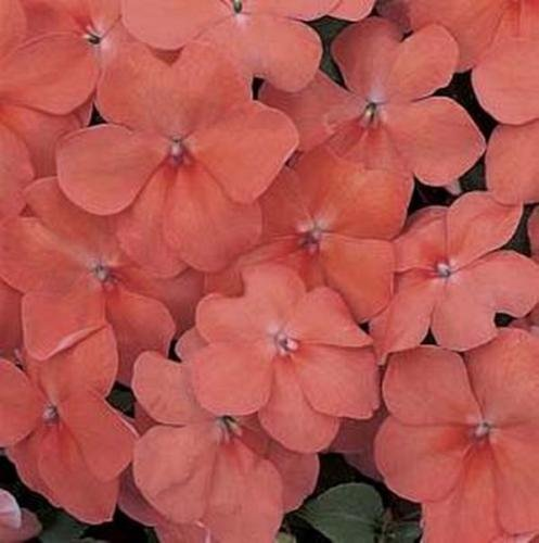 Impatiens Accent - 50 Impatiens Accent Series Apricot Annual Seeds