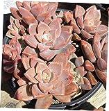 TEE 1 Bare Root Large Succulent Plant. Graptosedum Vera Higgins - RK59