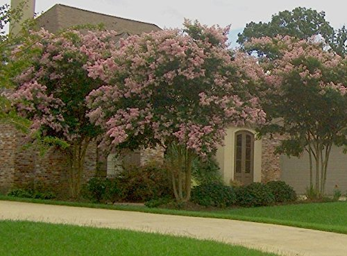 LARGE BASHAM'S PARTY PINK CRAPE MYRTLE, 2-4ft Tall When Shipped, FASTEST GROWING CRAPE MYRTLE, Matures 30ft, 1 Tree, Delicate Light Pink (Shipped Well Rooted in Pots with Soil) by The Crape Myrtle Company (Image #3)