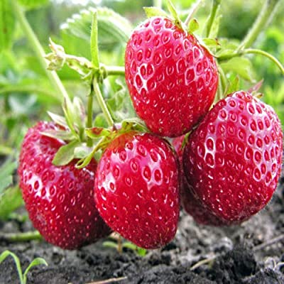 Lumos80 Mara Des Bois French Everbearing Strawberry 10 Plants - Best Flavor! - Bare Root : Garden & Outdoor