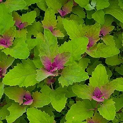 Magentaspreen Tree Spinach Seeds (Chenopodium giganetum) 40+ Rare Vegetable Seeds : Garden & Outdoor