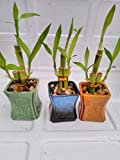 Betterdecor- 3 Sets of Lucky Bamboo Arrangement in 3 Pots for Gift and Fengshui For Sale