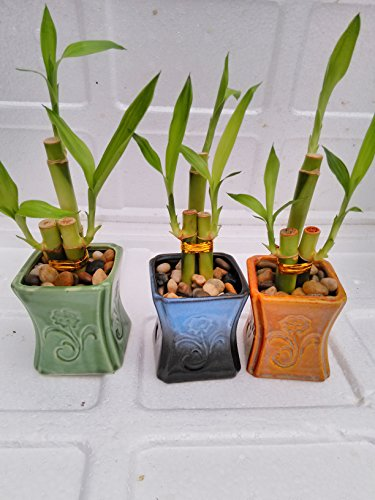 (Betterdecor- 3 Sets of Lucky Bamboo Arrangement in 3 Pots for Gift and Fengshui)
