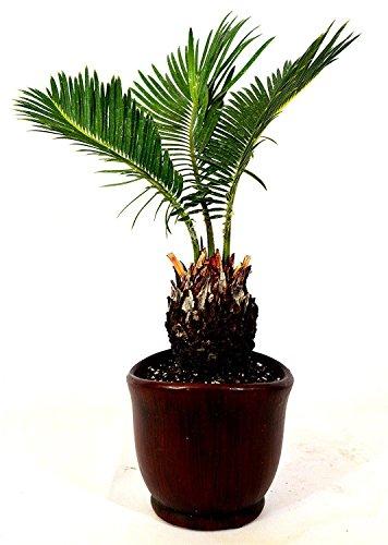 Sago Palm 4.5