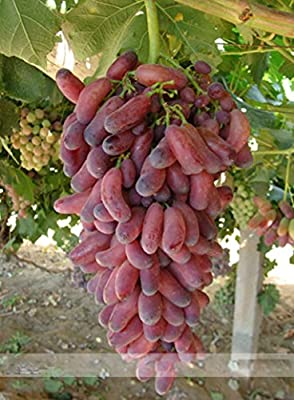 (Grape 30 *Ambizu*) 15+15 Seeds 100% True Heirloom Manicure Finger Grape Organic Seeds