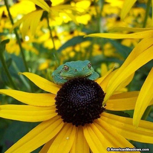 Go Garden Black-Eyed Susan Goldstrum~Fresh Seeds Generic