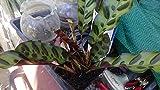 "9EzTropical - ~RATTLESNAKE~ Calathea lancifolia - 1 Plant - 8"" Tall - Ship in 3"" Pot"