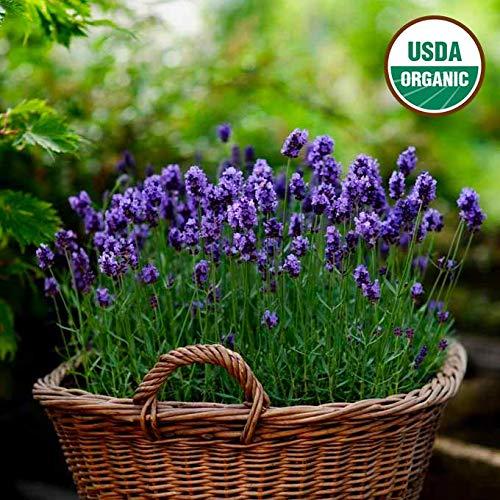 - English Lavender Seeds 1000+ Non-GMO Seeds Organic Purple Open-Pollinated Heirloom