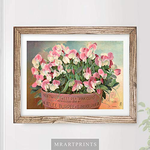 VINTAGE PINK SWEETPEA FLOWERS FLORAL ADVERTISING ART PRINT Shabby Chic Home Decor Victorian Illustration Painting Wall Picture A4 A3 A2 (10 ()