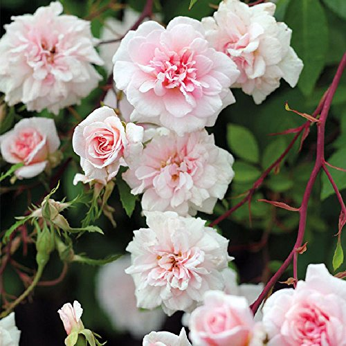 Cecile Brunner Climbing Rose Bush - Fragrant Pink Flowers Own Root Grown Organic Potted - Stargazer Perennials