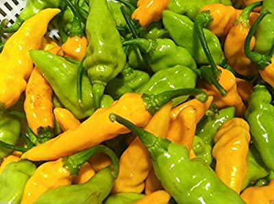 Hot Datil Pepper Seeds-capsicum Chinense- From St. Augustine, Florida (25 Seeds)
