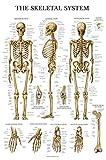 #2: Skeletal System Anatomical Chart - LAMINATED - Human Skeleton Anatomy Poster (18 x 27)